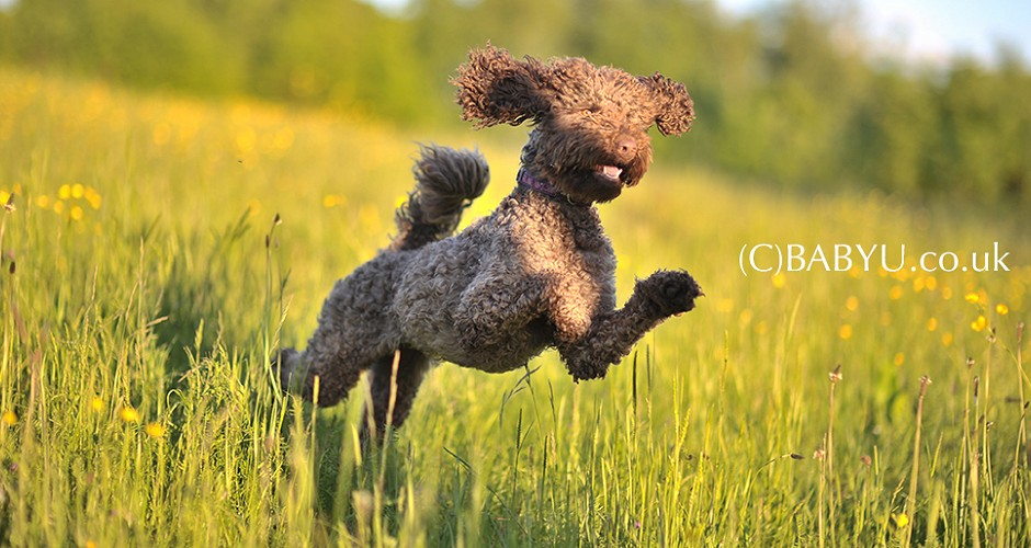 Dog Photographhy, Canine Photography, Labradoodle Photography